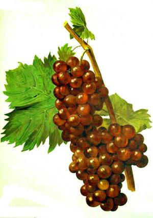 Cépage Muscat à petits grains rouges noir