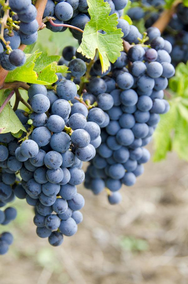 Cabernet-Sauvignon noir : cliché du cépage