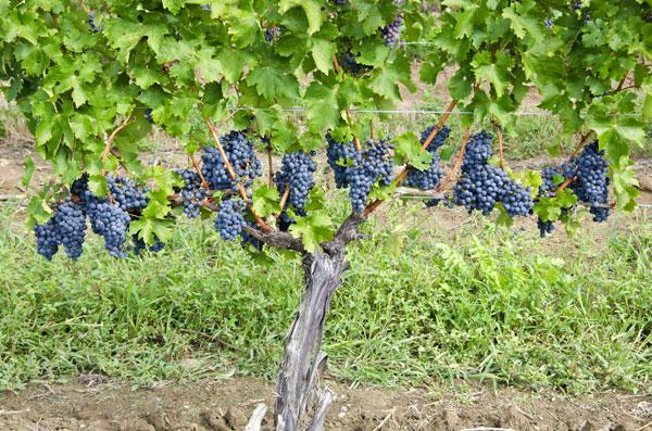 Cabernet-Sauvignon noir : photo du cépage