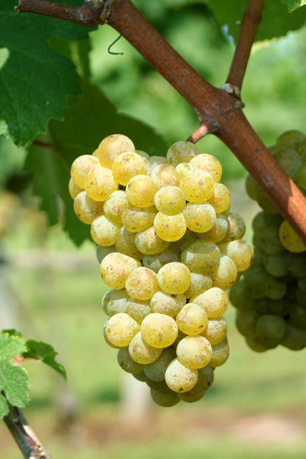 Chardonnay blanc : cliché du cépage