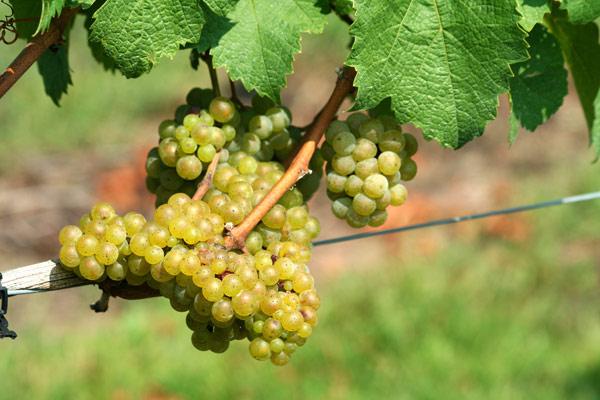 Chardonnay blanc : photo du cépage