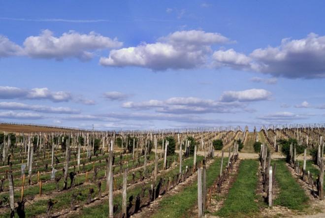 Les vignes du Château Figeac